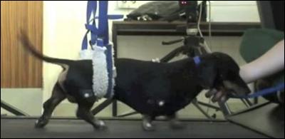 Собаки, которым трансплантировали собственные нейральные стволовые клетки из слизистой оболочки носа, вновь смогли управлять задними конечностями.