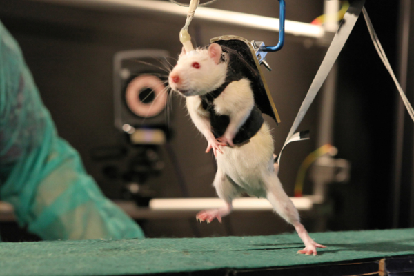 mouse_Courtine_lab_EPFL