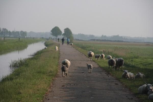 Голландские овечки