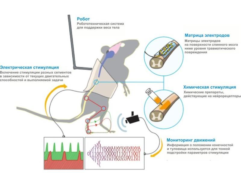Опубликовано 01.12.2015 Рис. Пространственно-временная нейромодуляция спинного мозга парализованных крыс