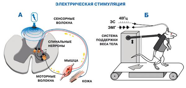При параличе можно электрическим током стимулировать сенсорные волокна спинного мозга и через них — спинальные нейроны (А). Благодаря электрической стимуляции (ЭС) животное с повреждением спинного мозга может ходить (Б).