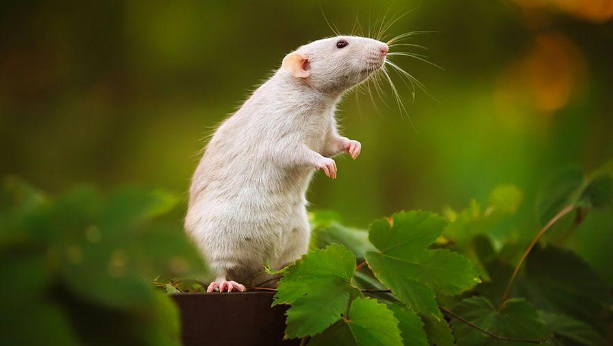 Крысы побеждают паралич