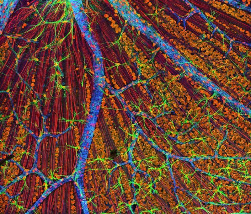 Сетчатка. Хорошо видны кровеносные сосуды (синим) и волокна зрительного нерва (красным). (Фото NIH Image Gallery / www.flickr.com/photos/nihgov/20515871393.) Подробнее см.: https://www.nkj.ru/news/29147/ (Наука и жизнь, Как восстановить разорванные нервы)
