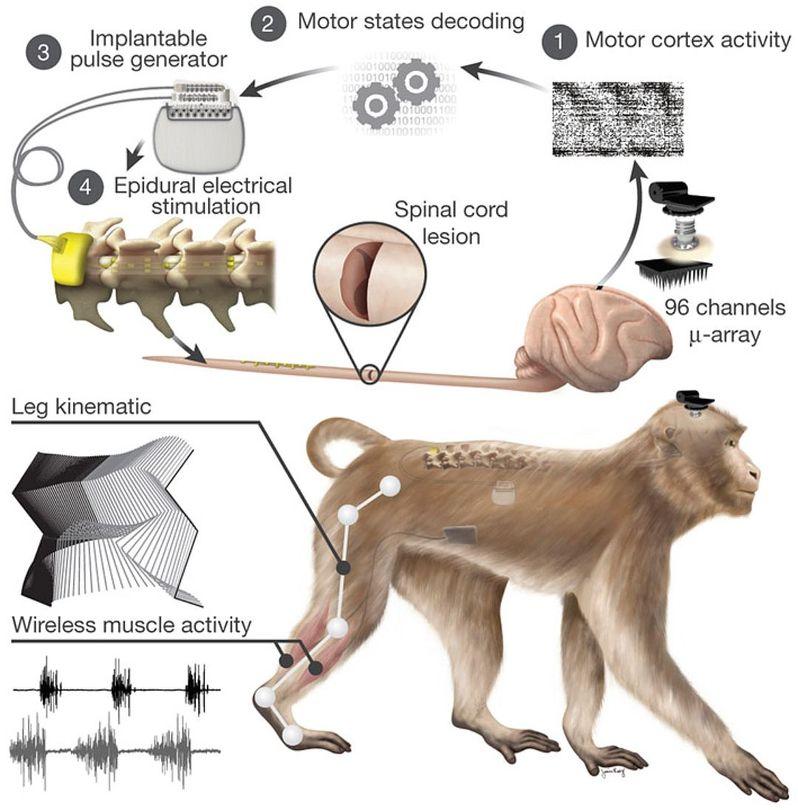 Ученые, работавшие с фондом Кристофера Рива, вернули обезьянам с травмой спинного мозга возможность двигаться